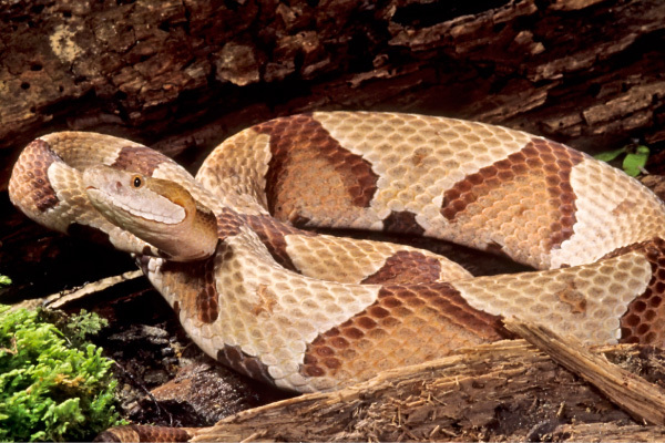 Copperhead Snake | UPMC HealthBeat
