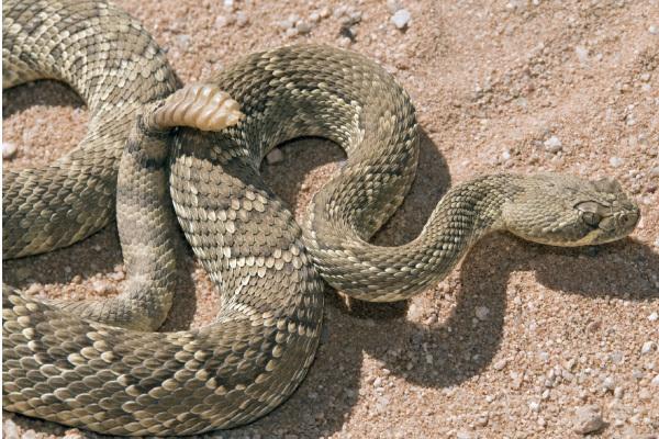 Massassagua Rattlesnake | UPMC HealthBeat