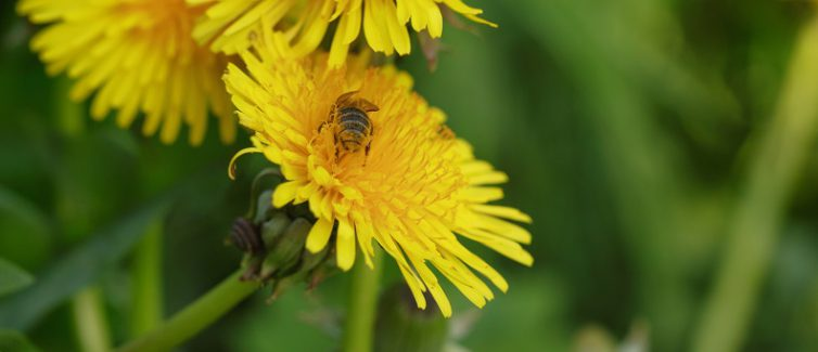 wasp collecting nectar on dandelios
