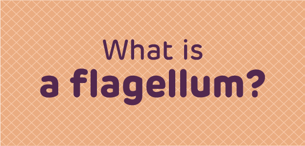 What is the flagellum?
